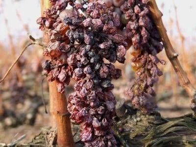 Tokajwijn druiven bruin/rood